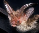 Long Ear Bat thumb 3